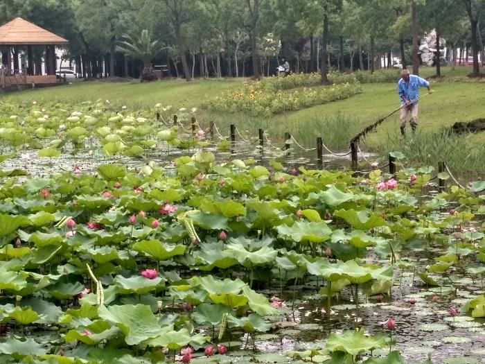 月牙湖荷花池清理