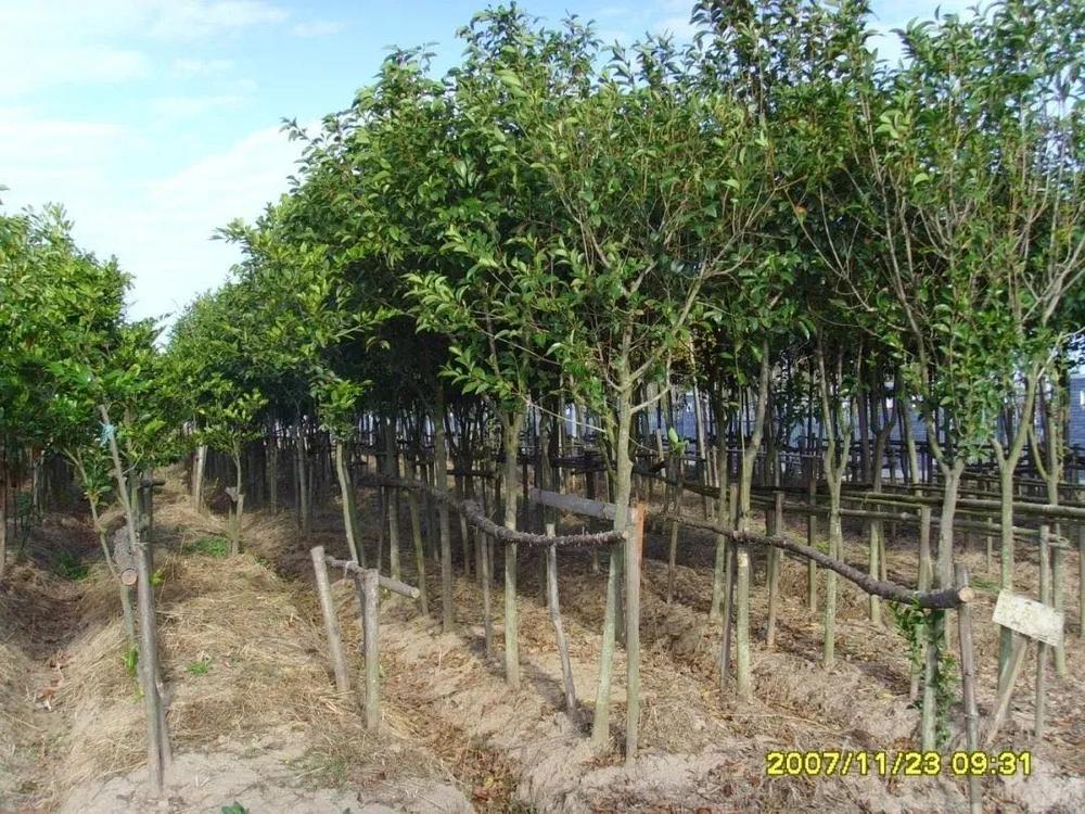 2007年首批苗木种植区状况