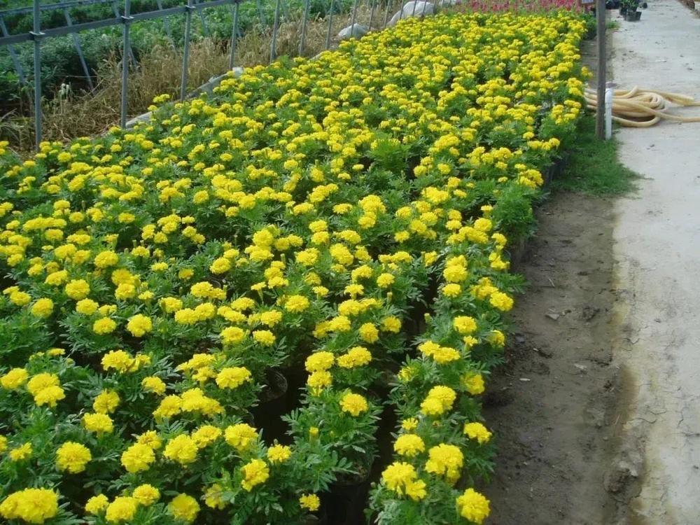 2007年新校苗圃栽培的第一批草花